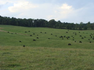 Beef cattle on Berry-Moore Farm