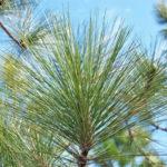 A longleaf pine branch