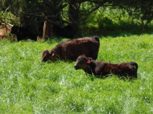 Two black cows grazing on tall grass